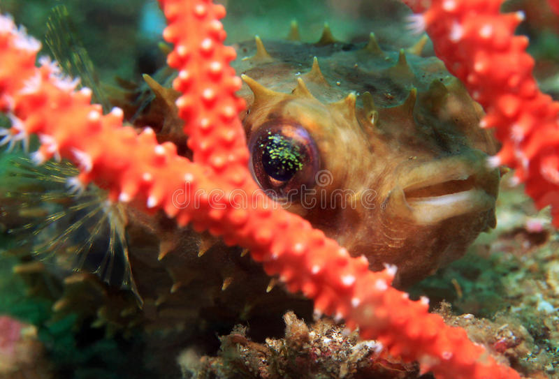 Porcupinefish arrotondato fotografie stock libere da diritti