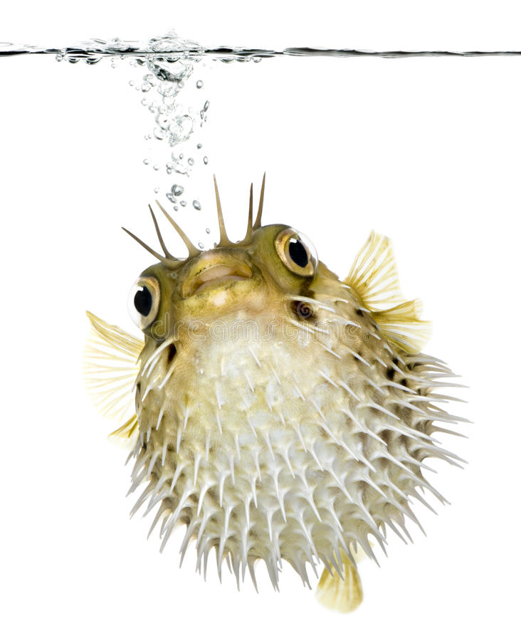 porcupinefish da Longo-espinha (peixes) fotografia de stock royalty free
