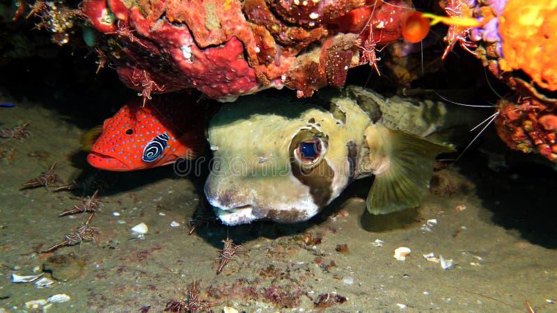 Porcupinefish de Shortspine fotografía de archivo libre de regalías