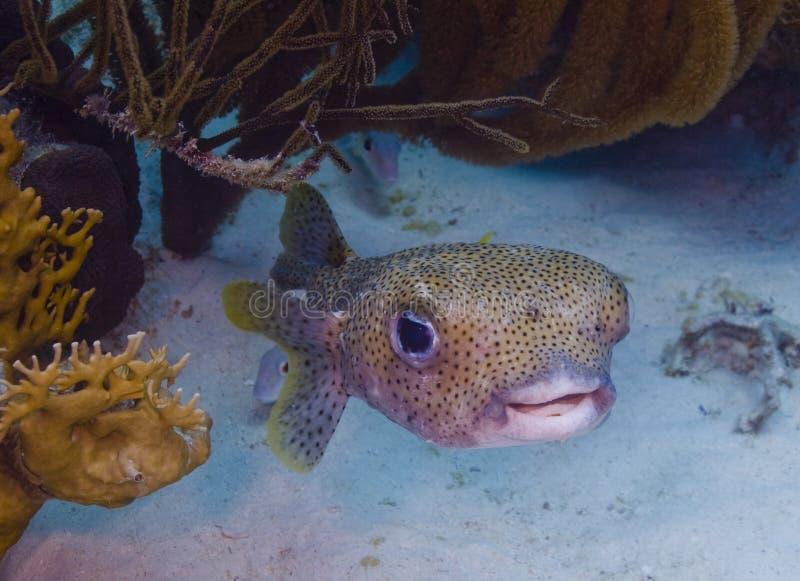 Porcupinefish (hystrix do Diodon) fotografia de stock royalty free