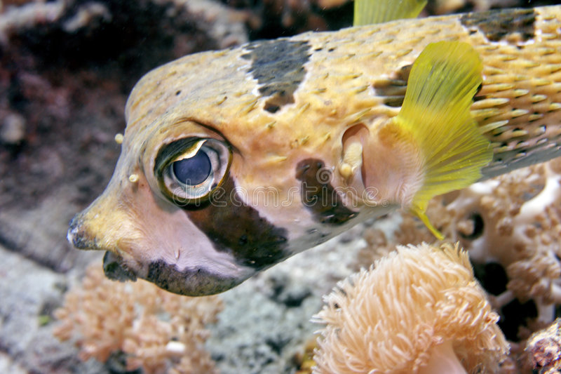 Porcupinefish Negro-bloched foto de archivo