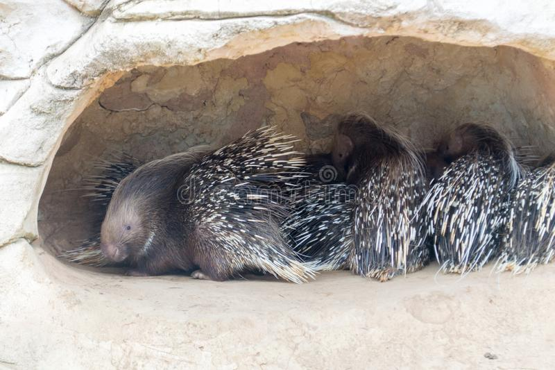 Porcupines stock photography