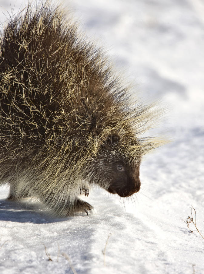 porcupinevinter arkivfoton