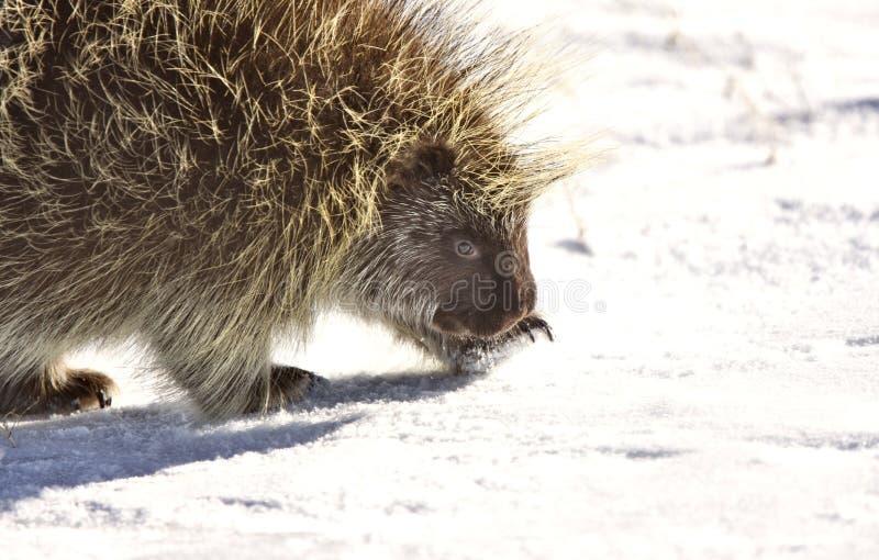 porcupinevinter fotografering för bildbyråer