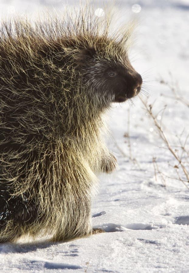 porcupinevinter royaltyfri fotografi