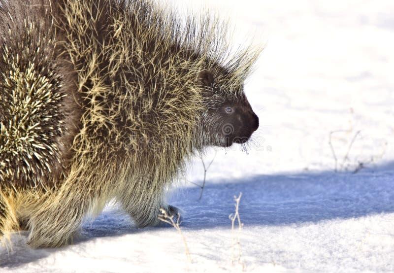 porcupinevinter royaltyfria foton