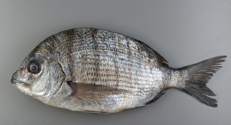 Porgie Fish. Fish. Porgies from Atlantic sea stock images
