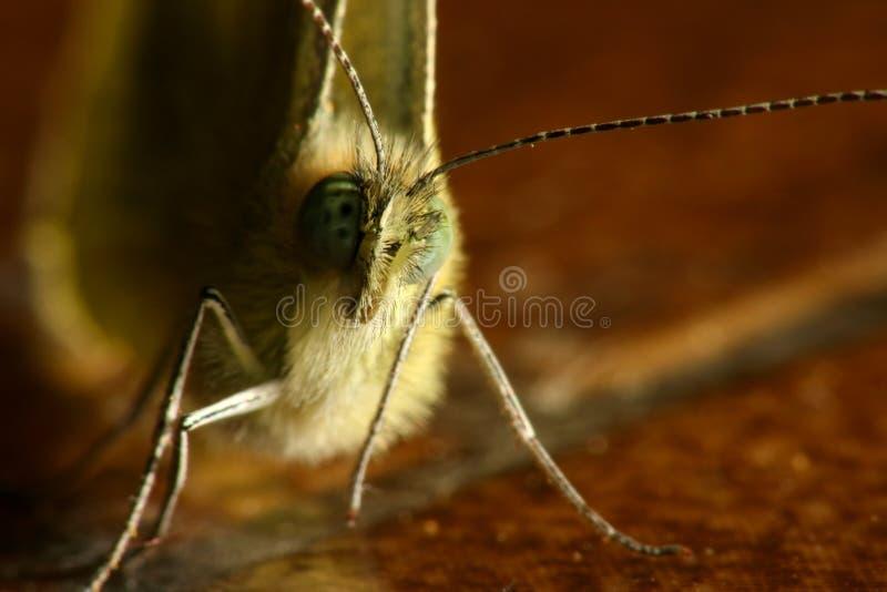 Poritrait della farfalla immagine stock
