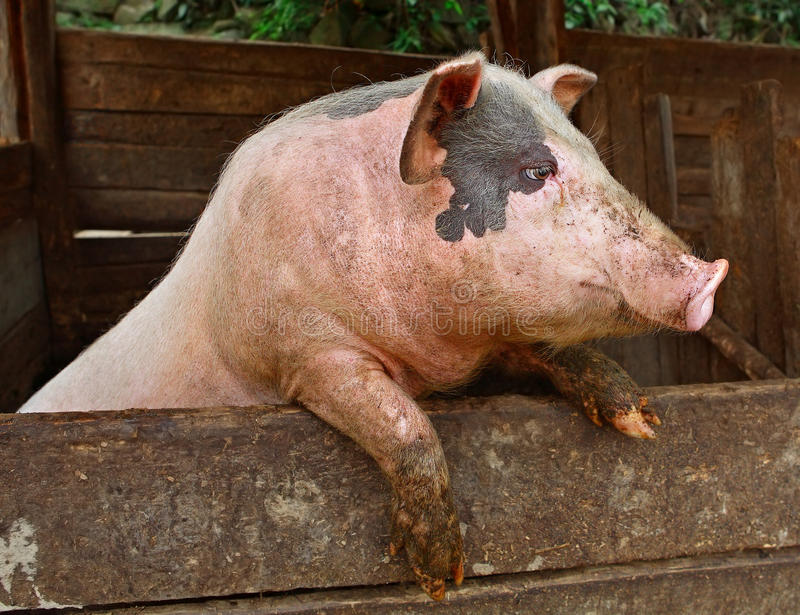 Pork. Pig in the private peasant farm looks out of the pen, standing on his hind legs. Pig stands on its hind legs, resting on the formwork paddock. Pets on stock images