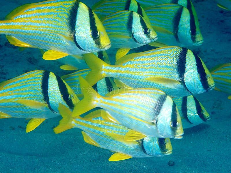 Download Porkfish Royalty Free Stock Image - Image: 26540916