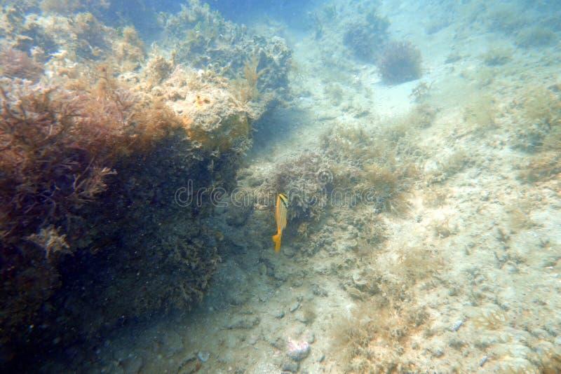 Porkfish die in de oceaan zwemmen stock afbeeldingen