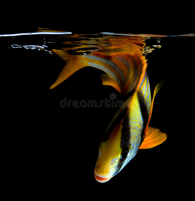 Porkfish na czarnym tle zdjęcie royalty free