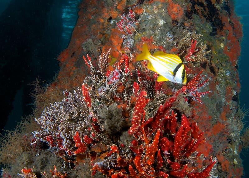 Porkfish près d'aboutement de passerelle images libres de droits