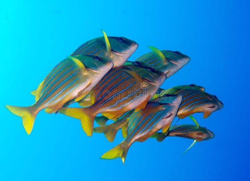 Porkfish at Sea of Cortez near Cabo San Lucas royalty free stock image