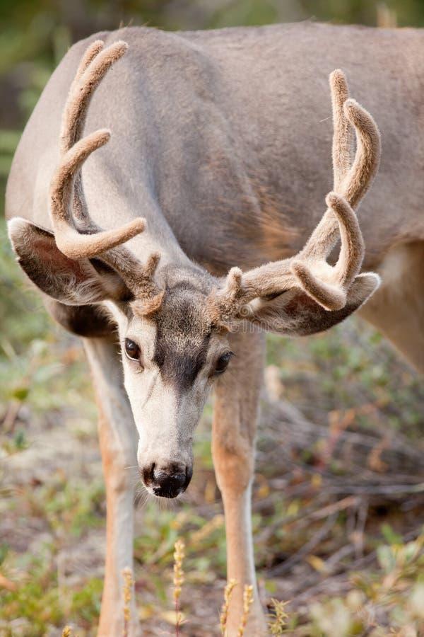 poroże samiec jeleni pastwiskowy muła aksamit obrazy royalty free