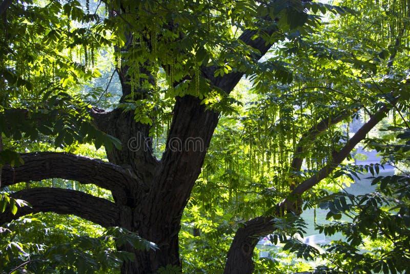 Porosły drzewo w cudownym pogodnym lesie fotografia royalty free