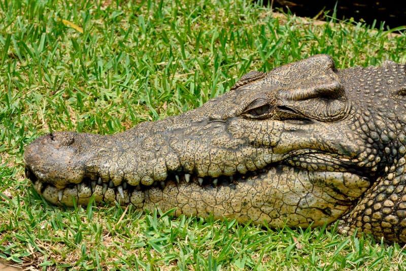 Porosus van Crocodylus van de zoutwaterkrokodil stock afbeeldingen