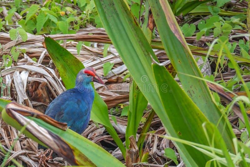 Porphyrio pourpre de Porphyrio d'oiseau de Swamphen dans l'herbe chez Thale Noi Waterfowl Reserve Lake, Thaïlande photographie stock