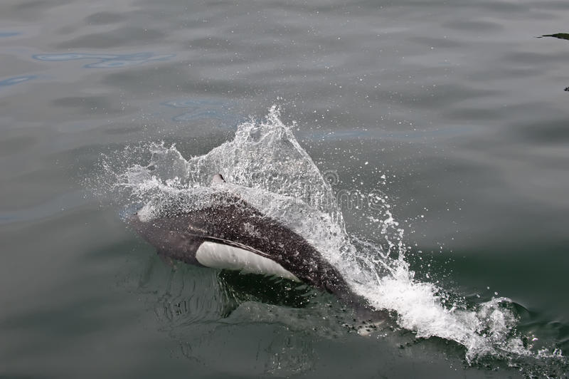 Download Porpoise breaching ocean stock image. Image of outside - 11589495