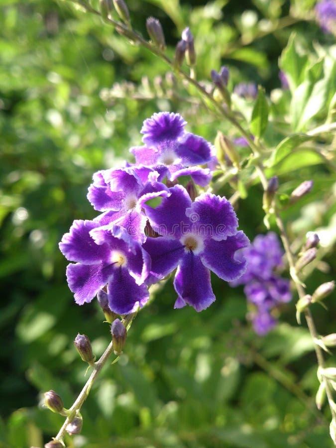 Porpora del fiore fotografie stock