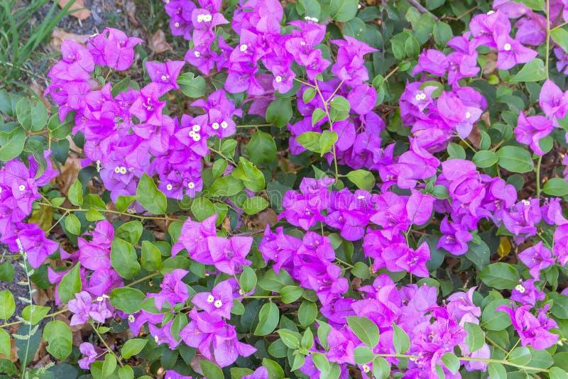 Porpora del fiore della buganvillea fotografie stock