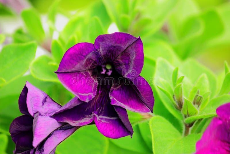 Porpora del fiore della petunia su fondo unfocused immagine stock
