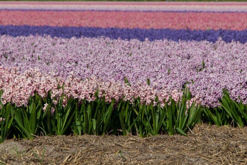 Porpora di rosa del campo del giacinto, Olanda, Paesi Bassi fotografia stock libera da diritti