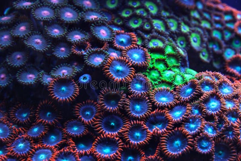 Porpora e luce d'emissione di corallo blu sotto la foto subacquea UV Fondo marino organico dell'estratto fotografie stock