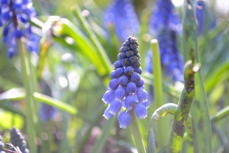 Porpora Paesi Bassi del fiore della molla del Muscari fotografia stock libera da diritti
