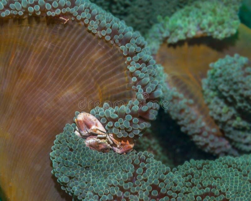 Porseleinkrab op anemoon stock foto