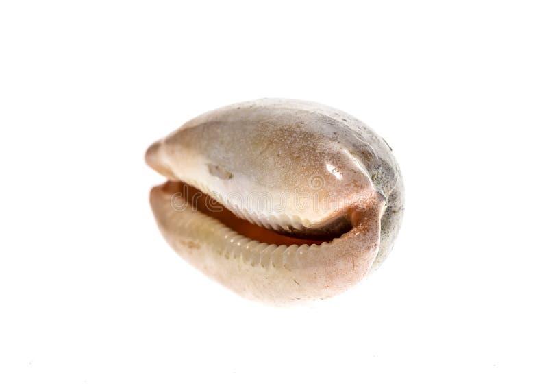 Porslinssnäcka eller kaurisnäcka - isolerat skal för kula för snigel för Luria luridahav royaltyfria foton