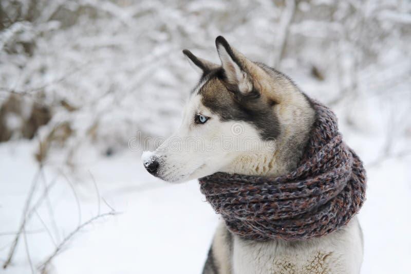 Port de chien de chien de traîneau sibérien rouge, écharpe bleue et brune se reposant sur la neige images libres de droits