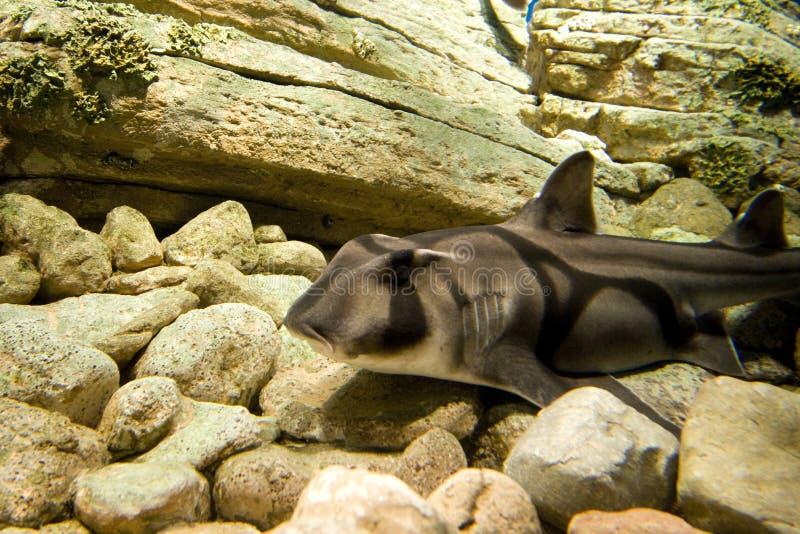 Port Jackson Shark royalty free stock images