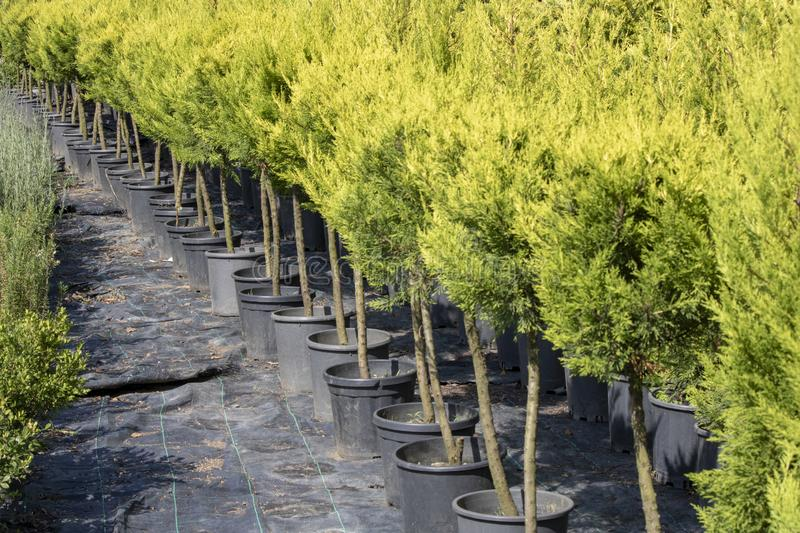 Port orford cedar tree nursery. The pots are arranged in a row. Reclining were taken royalty free stock images
