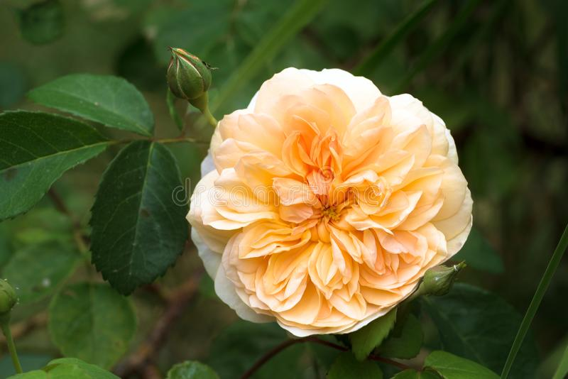 Port sunlight, beautiful english rose with an apricot orange fl. Ower, musk hybrid bred by David Austin, green background with copy space, selected soft focus royalty free stock photos