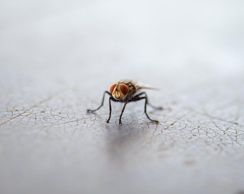 Portadores del insecto de la mosca de la enfermedad fotografía de archivo