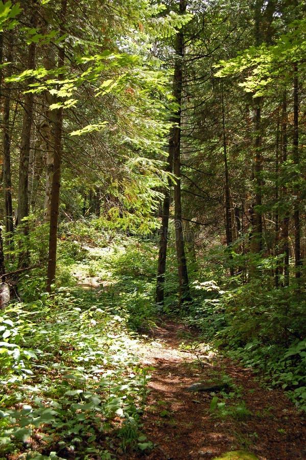 Portage en bosque soleado del pino fotografía de archivo