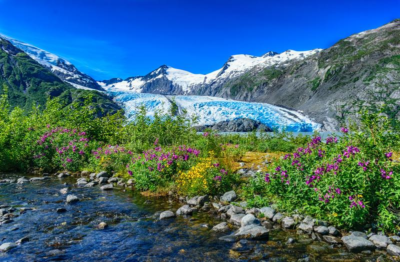 Portage Glacier, Alaska. Wild flowers blooming mid-summer. Portage Lake and Glacier are nestled in the Chugach Mountain Range royalty free stock images