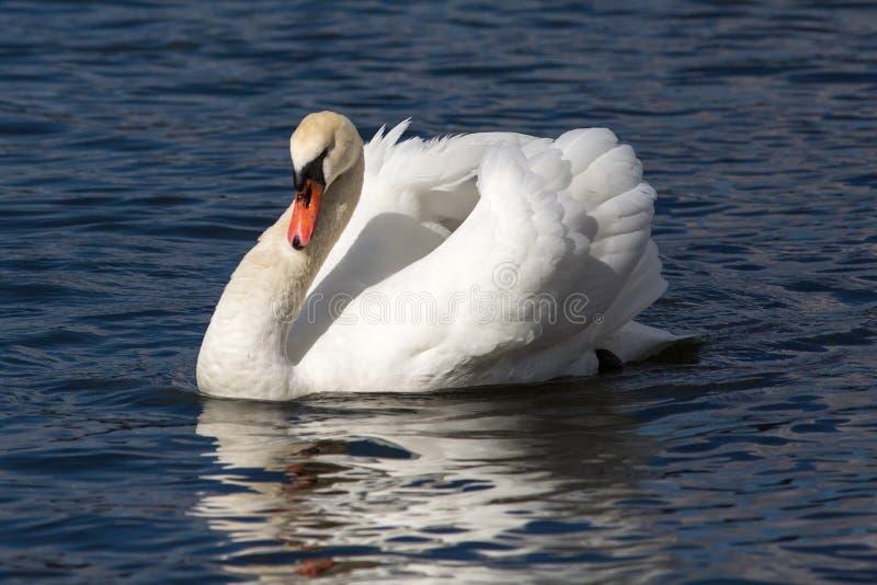 Portait a łabędź w jeziorze obrazy stock