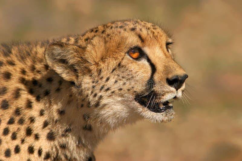portait гепарда стоковые фотографии rf