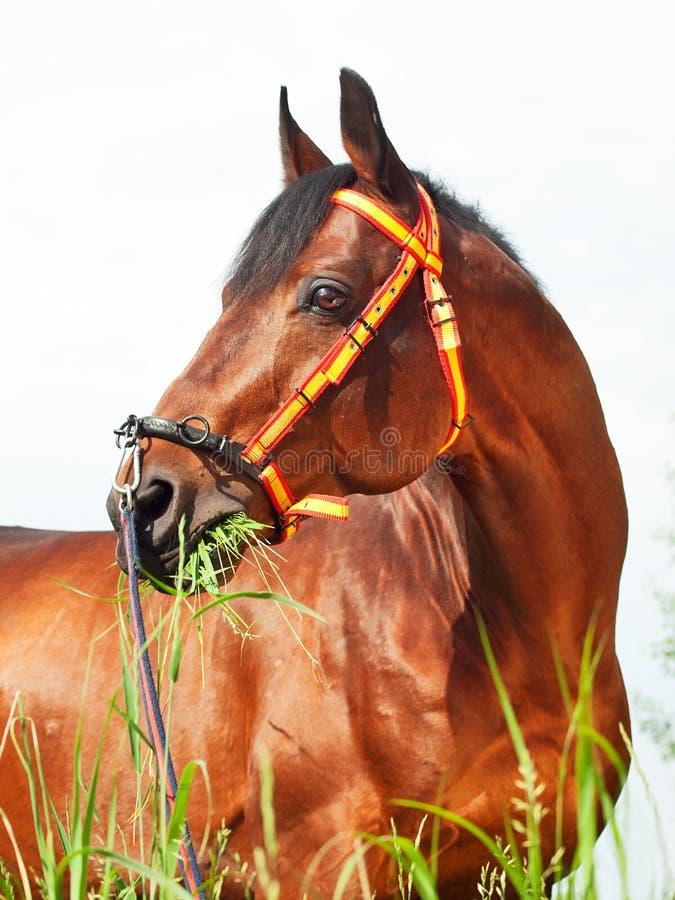 Download Portait Of Amazing Breed Stallion Stock Photo - Image: 25682066