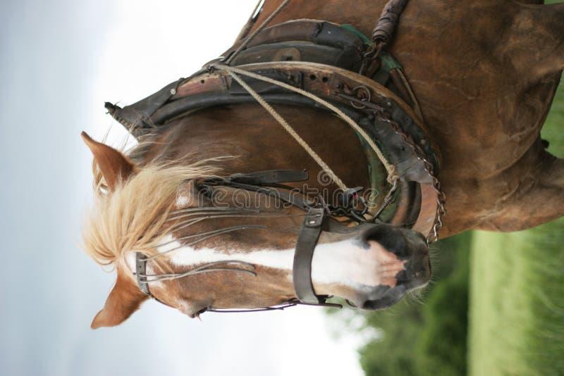 Portait d'un cheval de ferme images libres de droits