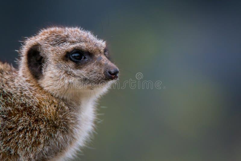 Portait d'un meerkat photo libre de droits