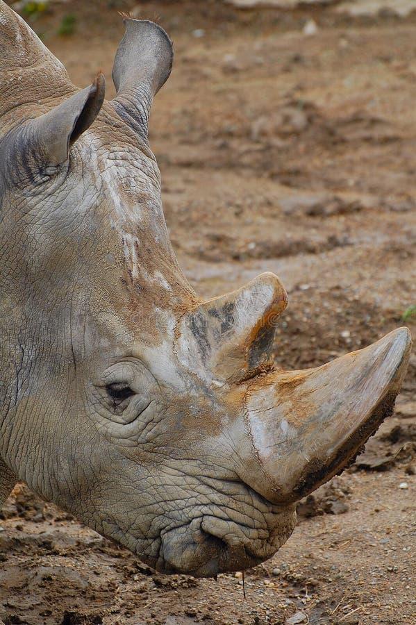 Portait de rhinocéros image libre de droits