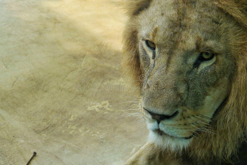 Portait de un león imágenes de archivo libres de regalías