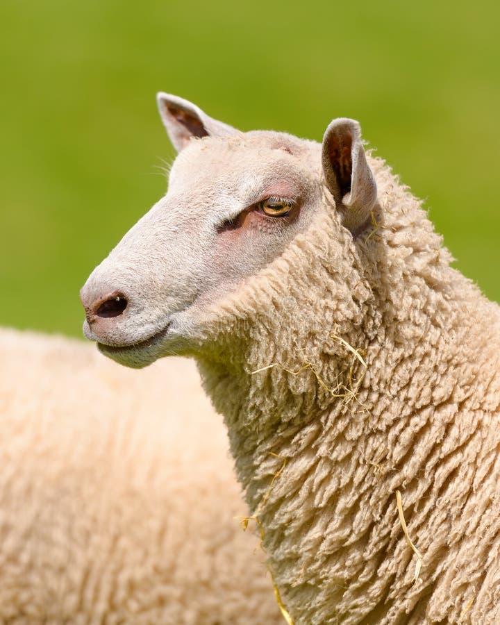 Portait des moutons du charolais photo libre de droits