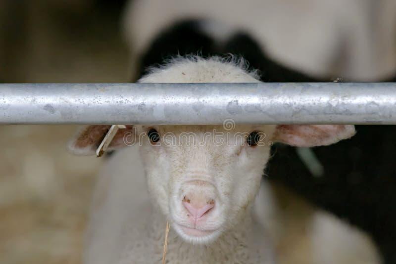 Portait des neugeborenen Lamms nahe Sisteron in Frankreich stockbild