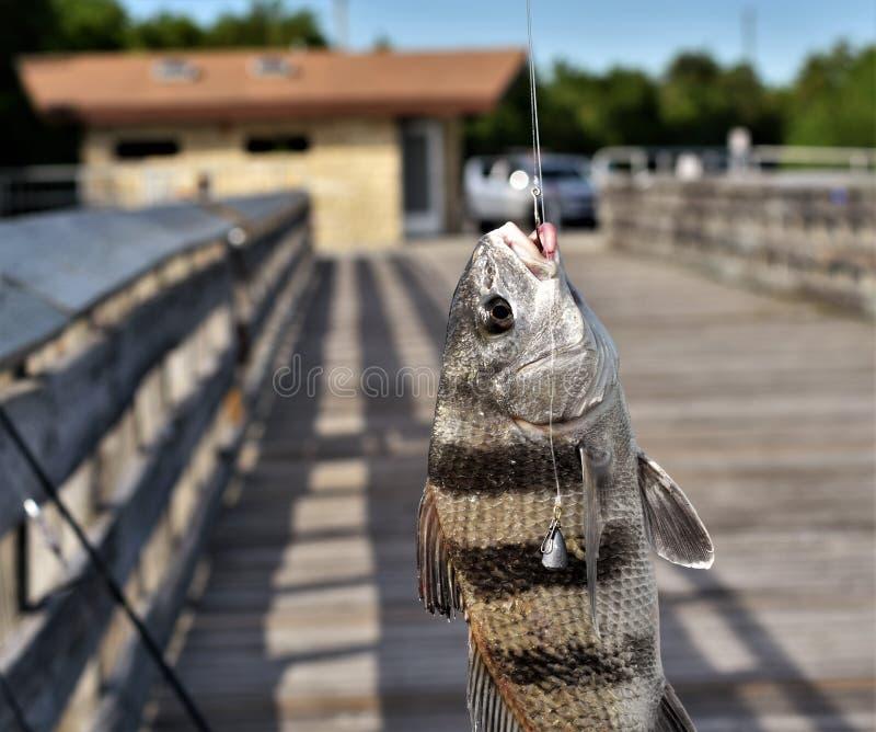 Portait eines sterbenden Fisches, der gehakt wird stockfoto