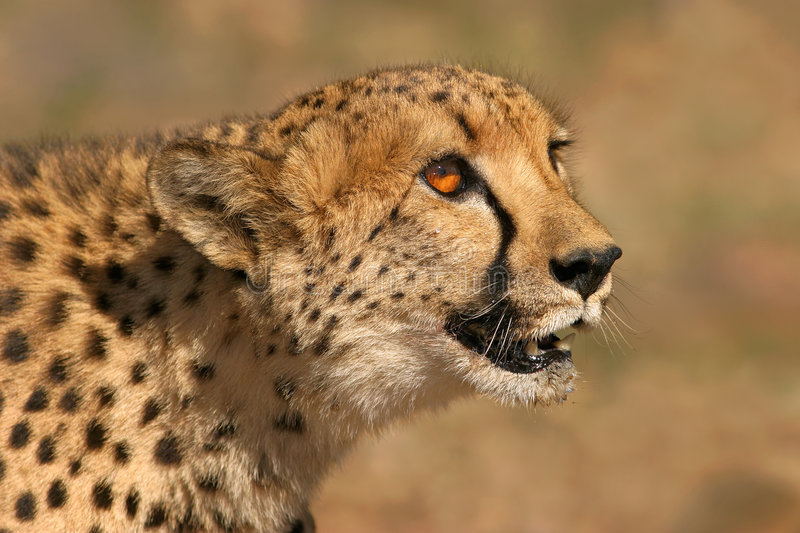 portait geparda zdjęcia royalty free