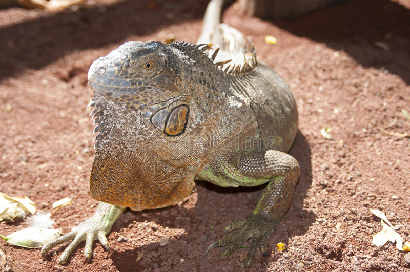 Portait of an iguana. Portrait of an iguana on sand royalty free stock images